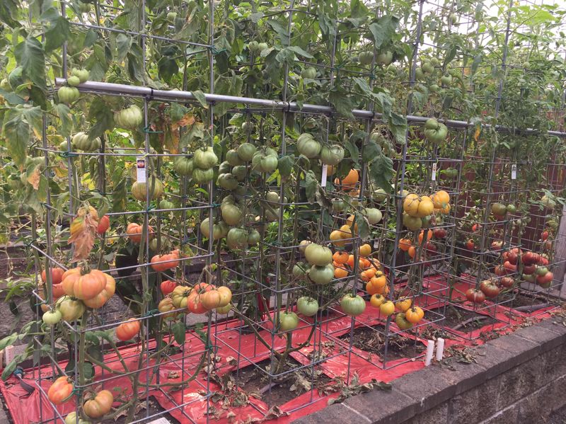 SUBMITTED PHOTO - Tomatoes are in abundance in Harry Olson's vertical gardens. He will share his techniques with audiences in Milwaukie.