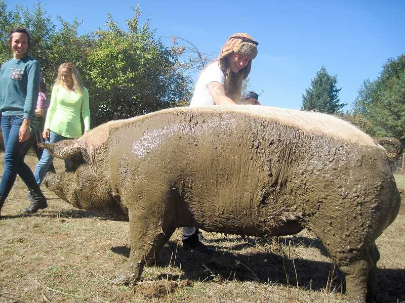 CONTRIBUTED PHOTO -  At Out to Pasture's cider squeeze, this farm pig enjoys attention after taking a mud bath.