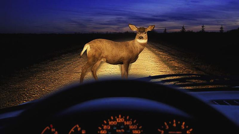 COURTESY PHOTO: STATE FARM - State Farm's 15th annual deer collision survey found that drivers in Oregon were more likely to hit a deer than drivers in neighboring states.