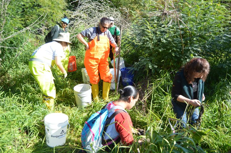 SPOTLIGHT PHOTO: NICOLE THILL - Members of the Portland-based Wisdom Workforce Development work in Dairy Creek on Sauvie Island to collect native wapato plants on Thursday, Oct. 5.