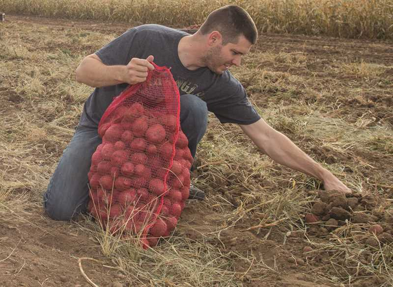 EJ CORONADO/SPECIAL TO THE CENTRAL OREGONIAN - Mike Pence harvests potatoes during the annual Crook County FFA U-sack potato event, held Saturday.