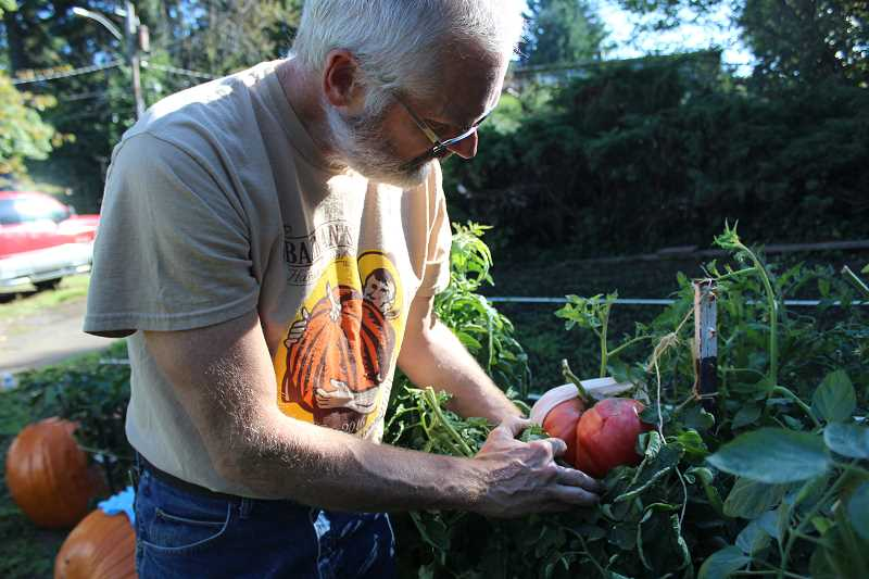 REVIEW PHOTO: SAM STITES - Jef Treece checks in on one of his giant tomatoes.