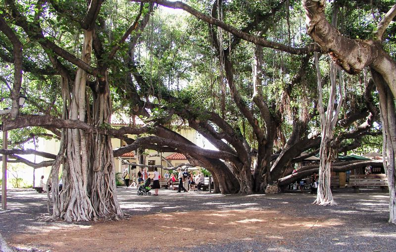 CONTRIBUTED - Former whaling village Lahaina is where you'll find the best shopping on the island of Maui. But don't miss the chance to see the 144-year-old banyon tree that takes up an entire block.