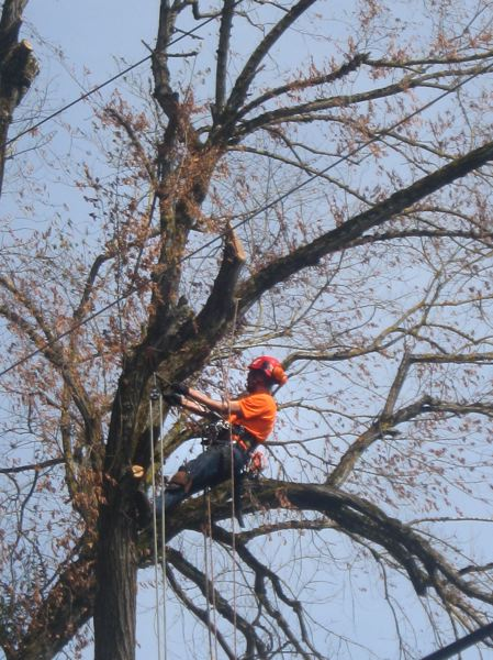 PAMPLIN MEDIA GROUP: MARA STINE  - Dutch elm disease killed this tree on Northeast 26th Avenue and Brazee Street in Portland weeks after it was detected. The disease has hit this neighborhood hard in recent years as it creeps northward.