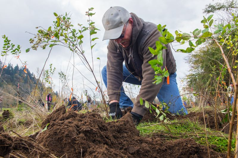 CONTRIBUTED PHOTO: PORT OF PORTLAND  - Another native seedling, one of 1,600 planted on Nov. 4, takes root at Sandy River Delta Park.