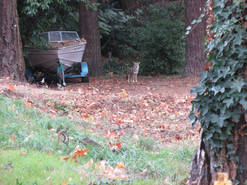 PHOTO BY: LEY GARNETT - This coyote was seen running up and down King Road. She is in the front yard of the house next to the entrance to the Mission Park development. Apparently she had a den on the property and has nowhere to go now.