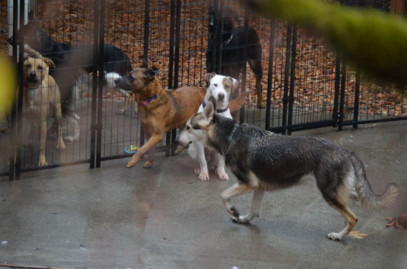 SPOTLIGHT PHOTO: COURTNEY VAUGHN - Dogs listed for adoption by All Terrier Rescue wait outside a Scappoose home on a rainy day. The organization is under investigation by Columbia County and the Oregon Department of Justice for possible kennel code violations and fraud, respectively.