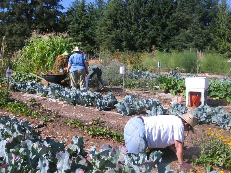 PHOTO BY: RAYMOND RENDLEMAN - Clackamas County Master Gardeners, certified by Oregon State University, work several of the plots at Clackamas Community College and donate thousands of pounds of food annually to Oregon City church pantries.