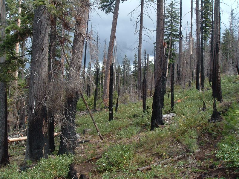 PHOTO BY GARRETT MEIGS, COURTESY OF OREGON STATE UNIVERSITY - About half the trees were killed in this Central Oregon stand during the 2003 B&B Complex fire. But a high number of trees survived and vegetation rapidly recovered, as seen from this 2007 image.