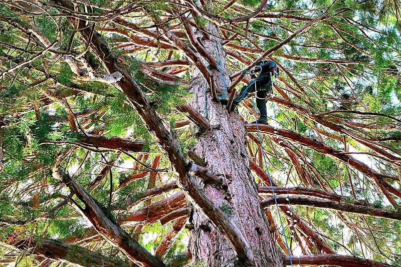 DAVID F. ASHTON - After climbing high into this Eastmoreland sequoia tree, a professional arborist prepared to rig and hang a string of Holiday lights.