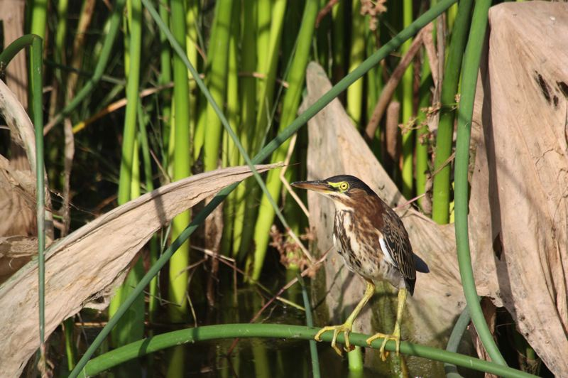 FILE - A green heron hunts for fish at the Fernhill Wetlands. The wetlands, which also double as a wastewater treatment area, support many species of birds and are a popular spot for birdwatchers and other nature-lovers.