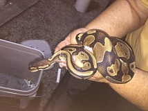 Photo Credit: WILSONVILLE POLICE - This ball python was allegedly discovered a vehicle driven by a pair of Washington residents headed to drug rehab in California. They were arrested by Wilsonville Police for drug possession and animal neglect.