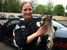 Photo Credit: FILE PHOTO - In 2013, Milwaukie police officer Crystal Hill herded some goats to safety after the kids were reportedly running amok near 51st Avenue and Southeast King Road.