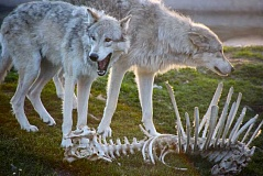 Photo Credit: PHOTO COURTESY OF WIKIPEDIA - Because wolves are attracted to livestock bones, Crook County's wolf depridation program is developing a program to remove them from ranches.