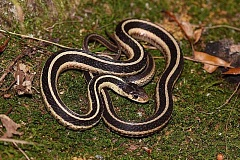 COURTESY PHOTO: OSU EXTENSION SERVICE - Common garter snakes can help with pest control.