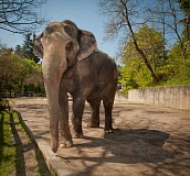 SUBMITTED PHOTO - Members of the West Linn Adult Community Center will take a field trip to visit Packy at the Oregon Zoo and view the Rose Garden at Washington Park June 24. Sign up now to participate.
