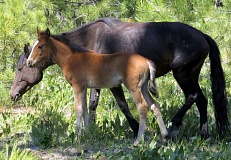 PHOTO COURTESY OF OCHOCO NATIONAL FOREST - The Big Summit Territory was set aside for wild horses, such as the ones shown above.