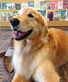 SUBMITTED PHOTO - Inga, one of the dogs participating in the Tales to Tails program at the West Linn Public Library, quietly enjoys a story.