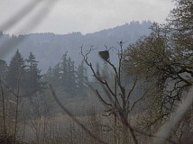 GAZETTE PHOTO: RAY PITZ - 1:15 p.m. -- Here's one of the bald eagles that has returned to the Tualatin River National Wildlife Refuge over the years to hopefully mate. The eagles are a big tourist and photography attraction to the refuge this time of year.