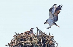 COURTESY PHOTO: STEPHEN YOUNG - This photo of the osprey at Jackson Bottom Wetlands was taken last spring.