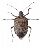 SUBMITTED PHOTO  - The brown marmorated stink bug was first discovered in 2004 as a home pest in Portland.