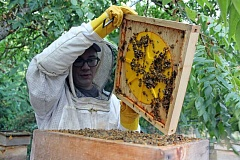 REVIEW PHOTO: JILLIAN DALEY - Bee Thinking's Matt Reed cracks open a Warre hive on Patricia O'Brien's property in Lake Oswego. Honey from her hives may soon be featured at Babica Hen Cafe.