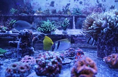 CONNECTION PHOTO: KELSEY O'HALLORAN - Tropical sea life abounds at Cuttle Fish and Corals, now located in Hillsdale.