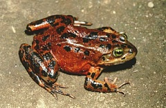 WILLIAM LEONARD - The Oregon spotted frog is the subject of a negotiated settlement among Central Oregon water districts, the U.S. Bureau of Reclamation, and two environmental groups.