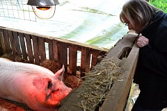 POST PHOTO: BRITTANY ALLEN - Brenda Hatter checks in on her sow ready to give birth.