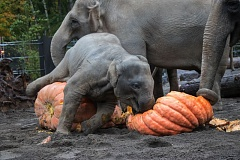 COURTESY PHOTO: KATHY STREET/OREGON ZOO. - Lily and the rest of the Oregon Zoo elephant family play with giant pumpkins during last year's Squishing of the Squash. This year's squishing is at about 10:30 a.m. Friday, Oct. 28.
