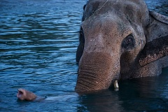 COURTESY PHOTO: SARA HOTTMAN/OREGON ZOO - Packy, the oldest male Asian elephant of his species in North America, enjoys a swim at the Oregon Zoo this fall. Zoo vets have suspended his TB treatments because they were ineffective.