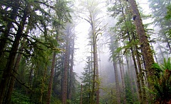 PHOTO COURTESY OF THE OREGON DEPARTMENT OF FORESTRY - The State Land Board voted last week to continue with the sale of an 80,000-acre swath of the Elliott State Forest.