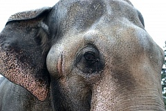 COURTESY PHOTO: THE OREGON ZOO - The Oregon Zoo's decision to euthanize 54-year-old Packy the Asian elephant touched off a storm of criticism from animal rights groups and some zoo staff. Packy died Feb. 9, after a prolonged battle with drug-resistant TB.