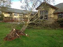 PEGGY SAVAGE - This Ash tree came down on the community building of the Big Meadow apartment complex in Molalla around 9 a.m. Friday morning, April 7.